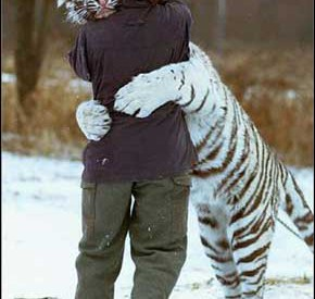abbraccio_tigre